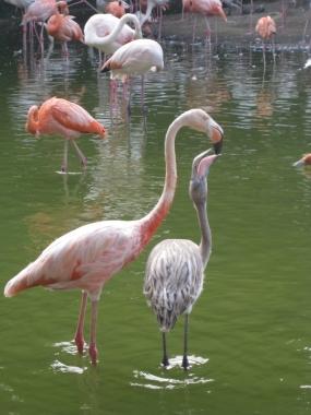 フラミンゴのヒナと親鳥4