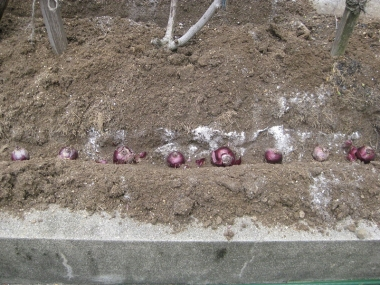 球根を並べ、埋める