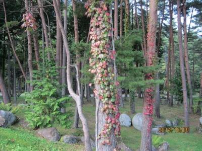 紅葉の蔦が絡んだカラマツ、アカマツ