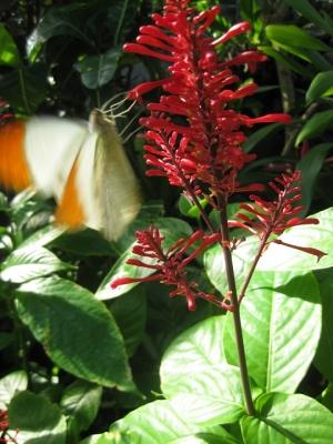 赤い花の蜜を吸うツマベニチョウ