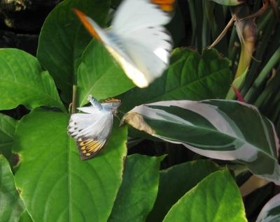 チョウ雄の求愛行動と雌の交尾拒否姿勢