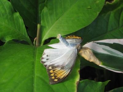 チョウ雌の交尾拒否姿勢