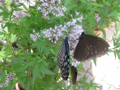フジバカマの花 蜜を吸うチョウ 2