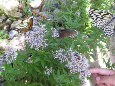 フジバカマの花 蜜を吸うチョウ 3