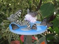 昆虫館で蜜皿の蜜を吸うチョウ