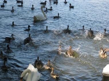 飛んできて着水のカモたち