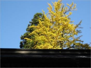 通用門の銀杏黄葉,屋根越しに