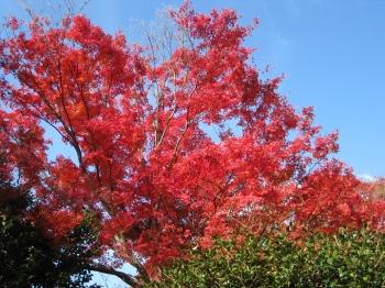 霊鑑寺庭園の紅葉1