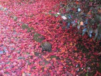 霊鑑寺の庭園の散り紅葉と山茶花