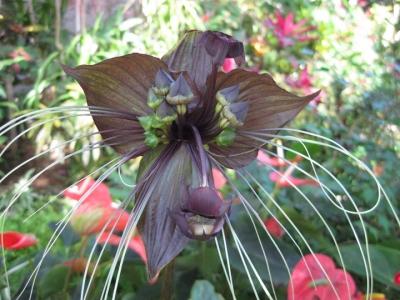 クロバナタシロイモ 花 1