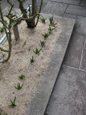芽を出したヒヤシンス,バラ花壇で