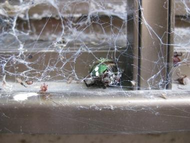 オオヒメグモの巣(網)にかかった小昆虫