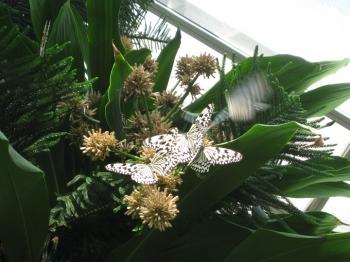 ドラセナの花とチョウ