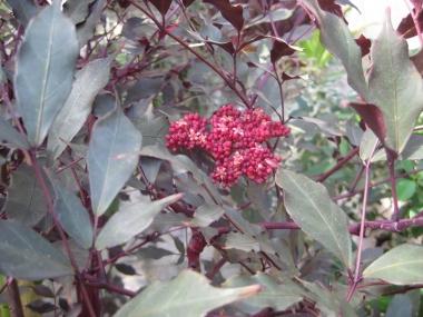 ハワイアンホーリー,花