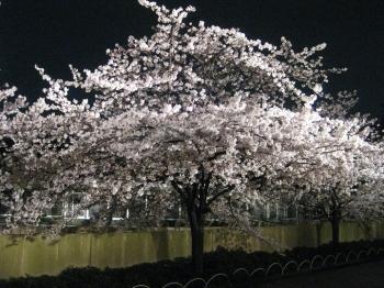 パンダ館の桜