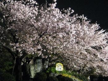 正面ゲート入った所の桜