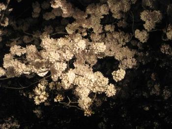 手まりのような桜