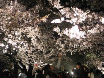 夜桜通り抜け 見物者 写真を撮る