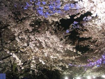 桜並木 動物園北出口