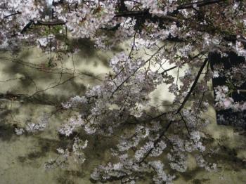 夜桜 妖しげ