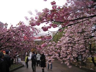 桜通り抜け出口付近の八重桜