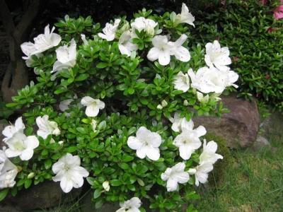 元盆栽,白い花の博多白