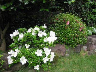 庭で咲く元盆栽の博多白と大盃