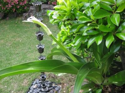 花茎を斜めに出したハマユウ