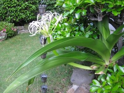 弓なりに反った茎に咲いたハマユウ