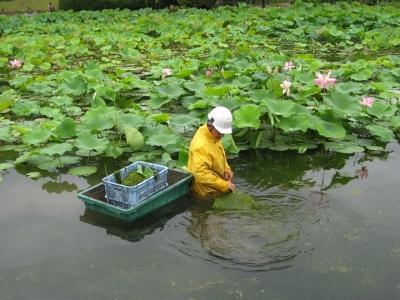 ハス池の水草・も を取り除く作業