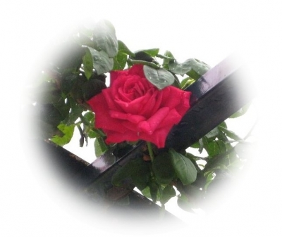 つるバラ マリアカラス
