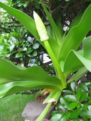 ハマユウ 伸びた花茎,苞