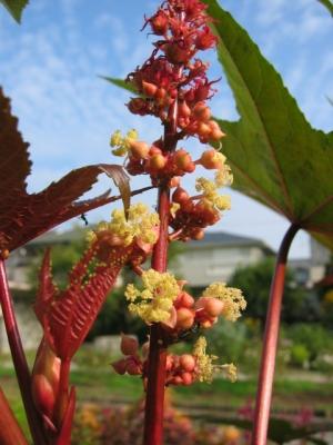 赤い雌花と黄色い雄花