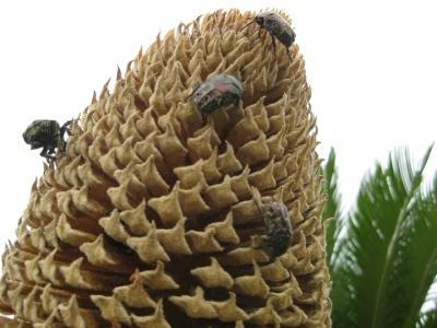 ソテツ雄花の先端とハナムグリ