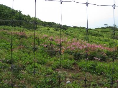 フェンスの中で咲くシモツケソウ