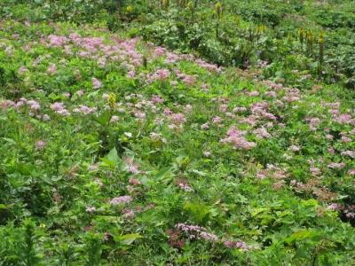 シモツケソウが咲いていた一画