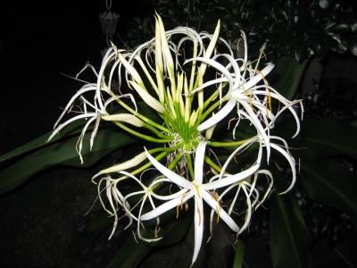 夜に咲くハマユウの花