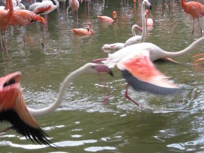 駆けるフラミンゴの成鳥