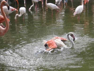 フラミンゴ 羽をバタつかせて水浴び