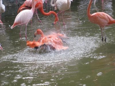 羽をバタつかせて水浴びするフラミンゴ