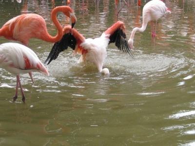 水浴び終えて立ち上がるフラミンゴ