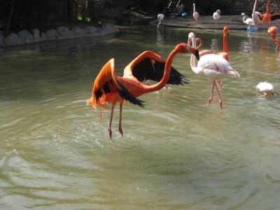 羽ばたいて水をふるうフラミンゴ