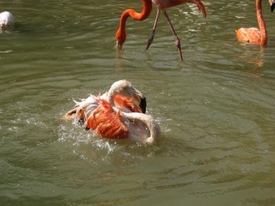水浴びするヨーロッパフラミンゴ