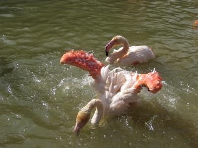 水浴びするフラミンゴ