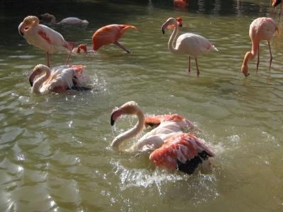 フラミンゴ 2羽並んで水浴び