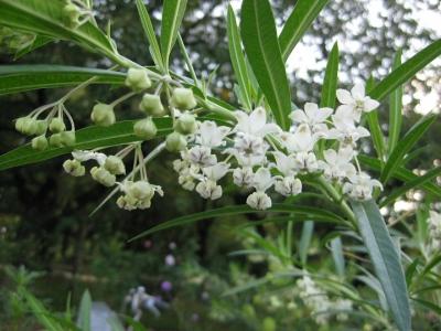 フウセントウワタの花 1
