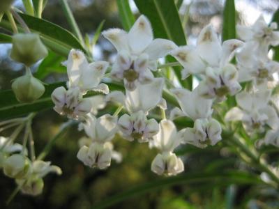 フウセントウワタの花 2