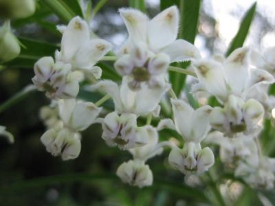 フウセントウワタの花 3