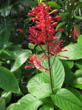 オドントネマ・ストリクツム 赤い花