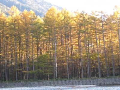 黄金色に輝くカラマツ林のアップ